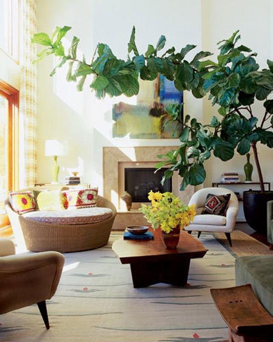 House Plant: Fiddle Leaf Fig Tree | peoniesandpancakes