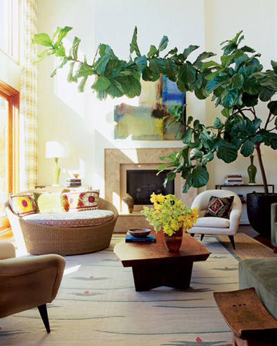 fiddle leaf fig tree 4